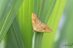 Yellow Shell Moth (AndyNeal) Tags: animal wildlife nature insect moth yellowshellmoth yellowshell macro