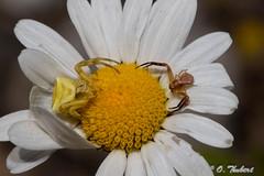 Face à face (OT38) Tags: arachnides thomiseenflé araignées thomise thomisusonustus araignéescrabes thomisidae