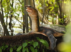 3S5X0743 Regal Soft Shell (Eileen Fonferko) Tags: turtle reptile softshellturtle nature wildlife