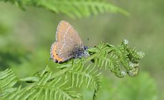 Black Hairstreak (thegrolffalo) Tags: blackhairstreak satyriumpruni butterfly insect flyinginsect nature naturalhistory ditchlingcommon eastsussex macro depthoffield nikond850 nikon105mm