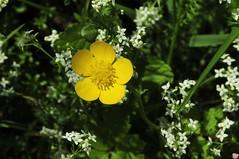 20190616 _DSC6338BX COL DU LAS ARBORETUM (GrosNounours67) Tags: cv fleur