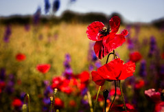 Summertime dream (Peter Szasz) Tags: colourful calm canon canon80d poppy red bright blue blurred violet green grass wheat sky flowers flora purple bush life nature 50mm 50 wildflower weed upclose clear summer heat dreamy hungary magyarország nowhere dream day hot outside outdoors land landscape meadow field flat petal macro