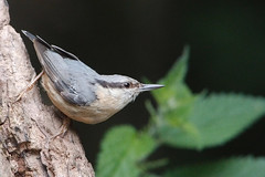 Nuthatch (Airwolfhound) Tags: lackfordlakes wildlife nuthatch bird