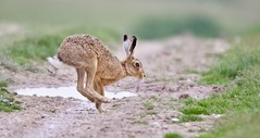 Hare in a hurry (Alan McCluskie) Tags: brownhare hare ukmammals