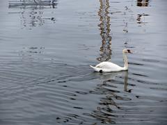 swan (helena.e) Tags: helenae öckerö husbil rv älsa water vatten spegling reflection fågel bird svan swan motorhome