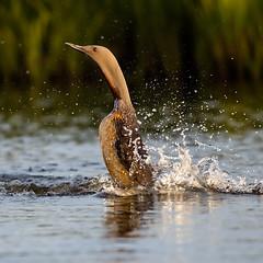 Red-throated loon (Kiddi Kristjans) Tags: lómur redthroatedloon redthroateddiver fugl friðlandiðíflóa iceland bird photography canon r canoneosr 500mm f45 canonef500mmf45l gaviastellata