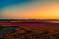 In Holland we use our light to colour our flowers. (Alex-de-Haas) Tags: dji dutch europa europe fc6310 holland nederland nederlands netherlands noordholland p4p phantom phantom4 phantom4pro aerial aerialphotography agriculture akkerbouw beautiful beauty bloemen bloemenvelden boerenland bollenvelden bulbfields farmland farming flowerfields flowers landbouw landscape landscapephotography landschaft landschap landschapsfotografie lente lucht luchtfotografie mooi polder pracht quadcopter schoonheid skies sky spring sundown sunset tulip tulips tulp tulpen zonsondergang warmenhuizen northholland