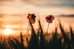 Mohn (Sascha Wolf) Tags: mohn mohnblume feld waldenbuch sony gm 100400 abendsonne sonnenuntergang sundown poppy field