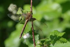 Norfolk (Green Eyed) Hawker (Hugobian) Tags: dragonfly dragonflies insect macro nature wildlife fauna animal pentax k1 paxton pits reserve norfolk hawker green eyed