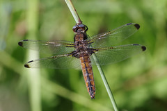 Scarce Chaser (Hugobian) Tags: dragonfly dragonflies insect macro nature wildlife fauna animal pentax k1 paxton pits reserve scarce chaser
