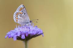 Bläuling mit Ringel-Rüssel (oliver r.) Tags: fuji fujixt3 xt3 canon canon100mm canon100mmlisusm macro makro nature natur insect insekt wildlife outdoor bläuling schmetterling butterfly falter abendlicht