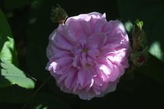 DSC_4683 (Peter-Williams) Tags: brighton sussex uk paviliongardens flowers