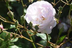 DSC_4682 (Peter-Williams) Tags: brighton sussex uk paviliongardens flowers