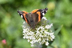 DSC_4655 (Peter-Williams) Tags: brighton sussex uk paviliongardens flowers