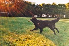 playing 🐺 (Jos Mecklenfeld) Tags: lensflare zon sun hond dog herdershond herder shepherd shepherddog hollandseherder dutchshepherd totoro