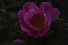 DSC_4642 (Peter-Williams) Tags: brighton sussex uk paviliongardens flowers
