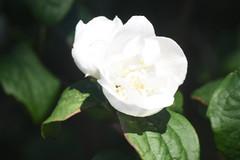 DSC_4639 (Peter-Williams) Tags: brighton sussex uk paviliongardens flowers