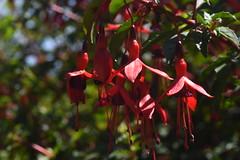 DSC_4628 (Peter-Williams) Tags: brighton sussex uk paviliongardens flowers