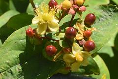 DSC_4626 (Peter-Williams) Tags: brighton sussex uk paviliongardens flowers