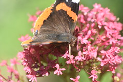 DSC_4680 (Peter-Williams) Tags: brighton sussex uk paviliongardens flowers