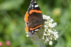 DSC_4656 (Peter-Williams) Tags: brighton sussex uk paviliongardens flowers