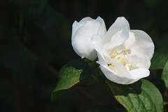 DSC_4640 (Peter-Williams) Tags: brighton sussex uk paviliongardens flowers