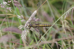 Black Tailed Skimmer (Injured) (Hugobian) Tags: dragonfly dragonflies insect macro nature wildlife fauna animal pentax k1 paxton pits reserve black tailed skimmer