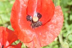 DSC_4636 (Peter-Williams) Tags: brighton sussex uk paviliongardens flowers