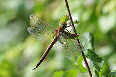 Norfolk (Green Eyed) Hawker (Hugobian) Tags: dragonfly dragonflies insect macro nature wildlife fauna animal pentax k1 paxton pits reserve norfolk hawker green eyed