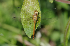 Common Darter (Hugobian) Tags: dragonfly dragonflies insect macro nature wildlife fauna animal pentax k1 paxton pits reserve common darter