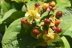 DSC_4627 (Peter-Williams) Tags: brighton sussex uk paviliongardens flowers