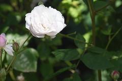 DSC_4618 (Peter-Williams) Tags: brighton sussex uk paviliongardens flowers