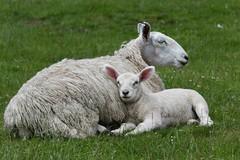 Sheep and lamb (PhotoCet) Tags: photocet sheep lamb
