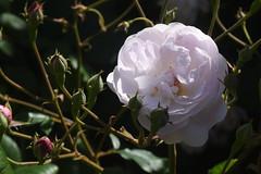 DSC_4681 (Peter-Williams) Tags: brighton sussex uk paviliongardens flowers