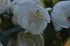 DSC_4641 (Peter-Williams) Tags: brighton sussex uk paviliongardens flowers