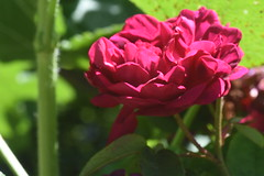 DSC_4633 (Peter-Williams) Tags: brighton sussex uk paviliongardens flowers