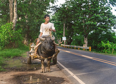 On the road to Siaton (Re-EDIT) (vincent.lecolley) Tags: asia philippines rural siaton negrosoriental man worker farmer travel culture buffalo road countryside fields harvest manatwork animal domestic nikon nikonasia d3300