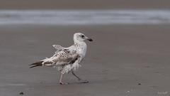 Rückenwind (Maike B) Tags: möwe silbermöwe gull seagull nordsee rückenwind tailwind watt