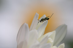 Tiny Wasp (Pittypomm) Tags: metallic green wasp chalcid insect animal wildlife garden ovipositor