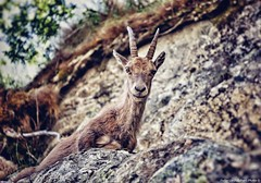 Watch me ...  (Ibex at Lake Rovine, Entracque, Piedmont, Italy). (Federico Fulcheri Photo) Tags: federicofulcheriphoto©️ italy piedmont entraque silence nature eyes portrait horn mountainsheep ibex animals nopeople outdoors snapseed canonitalia canon
