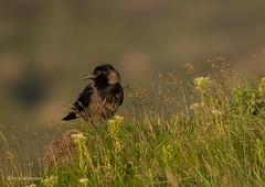 ein seltsamer Vogel (wernerlohmanns) Tags: wildlife vögel natur outdoor sigma150600c schärfentiefe helgoland deutschland krähenvogel rabenvögel nsg nabu schleswigholstein hel