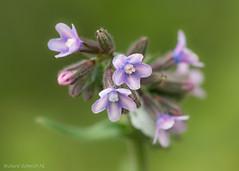 Anchusa officinalis (De Hollena) Tags: anchusaofficinalis buglosseofficinale gewoneossentong ochsenzunge alkanet buglosaoficinal bugloss
