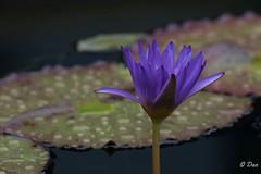 DSC_1485 (daniellavandier) Tags: nymphéa nénuphar les jardins deau carsac dordogne fleur bleu nikon d500 tamron 70300
