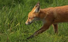 Strolling by (waynehavenhand1) Tags: sunlight vulpesvulpes vulpes animal cub fox