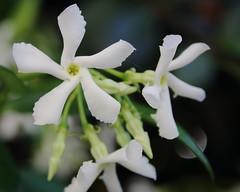 Curves (ryorii) Tags: ryncospermumjasminoides starjasmine falsogelsomino flowers gardenflowers white blossoms flowering macromondays curves