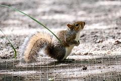 DSCF0302 (Keith Grafton) Tags: greysquirrel