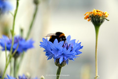 168/365 - Bon appetite! (Sinuhé Bravo Photography) Tags: canon eos7dmarkii macromonday flowers blue bumblebee bee polynation macro insect