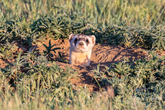 The black-footed ferret makes a surprise appearance