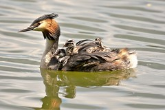 Great crested grebe. (dave harrison143) Tags: grebes