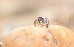 Surveillance (willjatkins) Tags: wildlife wildlifeofeurope europeanwildlife arachnids arachnid arachnidsofeurope europeanspiders spider spiders spidersofeurope jumpingspider salticidae aelurillus aelurillusvinsignitus britishwildlife britisharachnids britishspiders ukwildlife ukarachnids ukspiders londonwildlife londonspiders londonspider heathlandwildlife heathland closeupwildlife closeup macro macrowildlife nikond610 nikon sigma105mm
